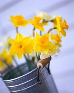 bucket of daffodils